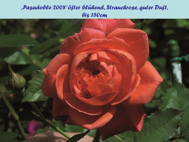 """""""Pasadoble 2008""""öfter blühend, Strauchrose, guter Duft,"""
