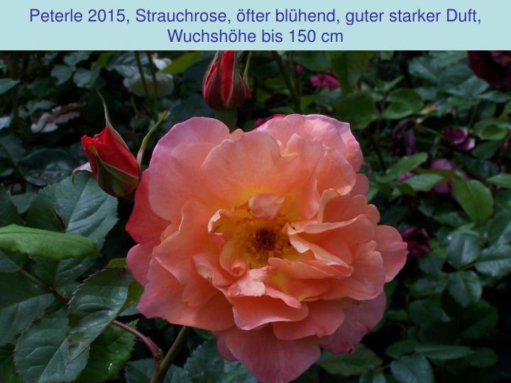 Peterle 2015, Strauchrose, öfter blühend, guter starker Duft,
