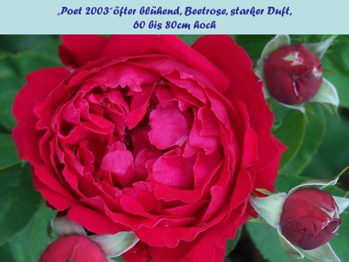 """""""Poet 2003""""öfter blühend, Beetrose, starker Duft,"""
