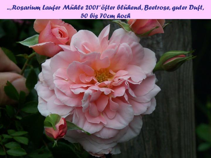 "..""Rosarium Laufer Mühle 2001""öfter blühend, Beetrose, guter Duft,"
