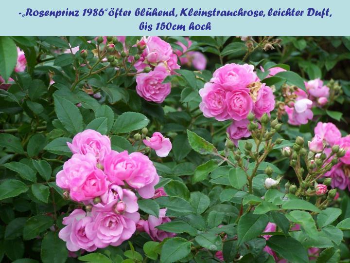 """-""""Rosenprinz 1986""""öfter blühend, Kleinstrauchrose, leichter Duft,"""