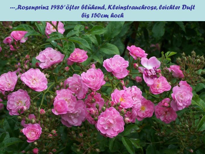 """---""""Rosenprinz 1986""""öfter blühend, Kleinstrauchrose, leichter Duft"""