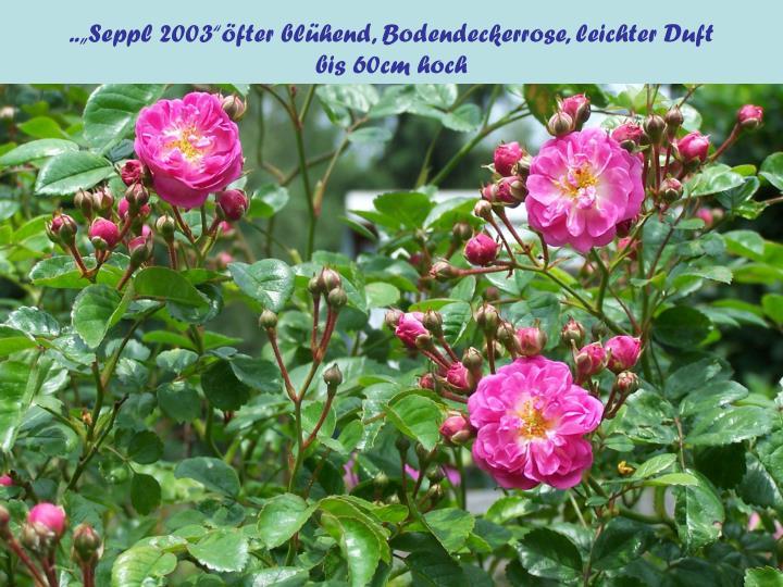 """..""""Seppl 2003""""öfter blühend, Bodendeckerrose, leichter Duft              bis 60cm hoch"""