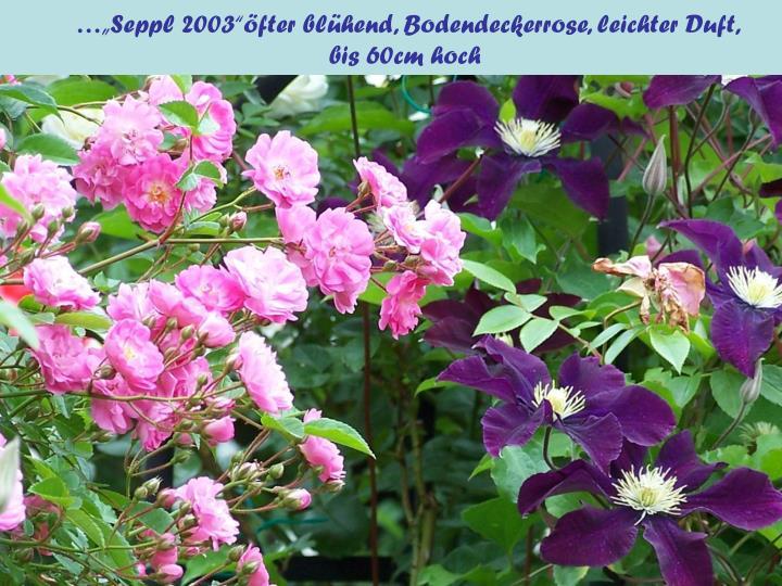 "…""Seppl 2003""öfter blühend, Bodendeckerrose, leichter Duft,"