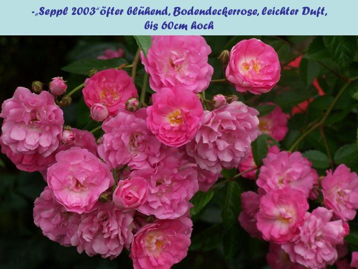 "-""Seppl 2003""öfter blühend, Bodendeckerrose, leichter Duft,"