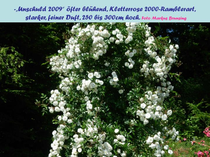 "-""Unschuld 2009"" öfter blühend, Kletterrose 2000-Ramblerart,"