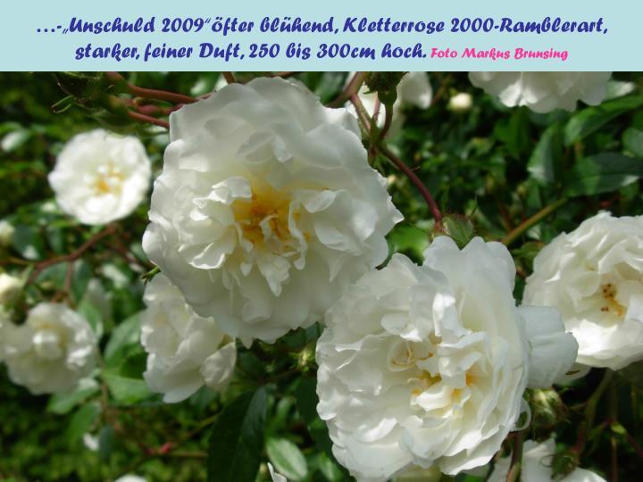 "…-""Unschuld 2009""öfter blühend, Kletterrose 2000-Ramblerart,"