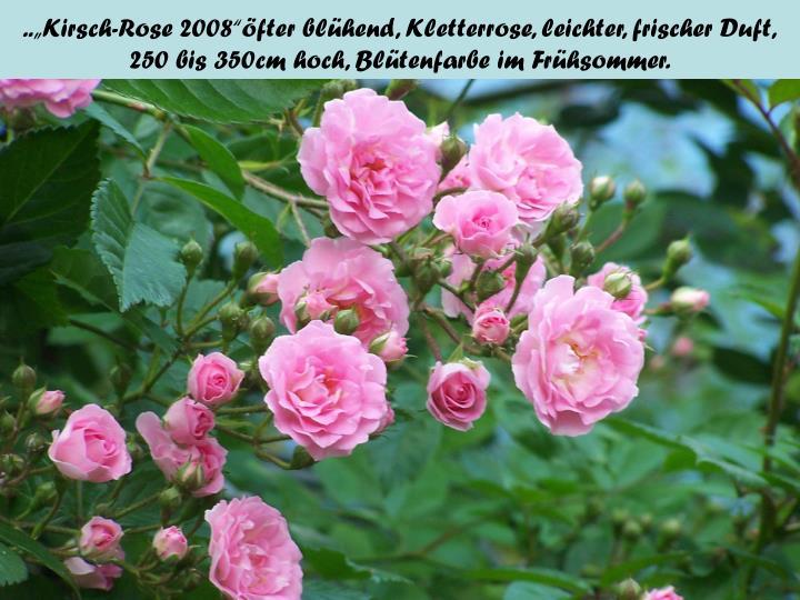 "..""Kirsch-Rose 2008""öfter blühend, Kletterrose, leichter, frischer Duft,"