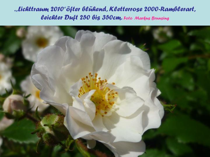 """.""""Lichttraum 2010""""öfter blühend, Kletterrose 2000-Ramblerart,"""
