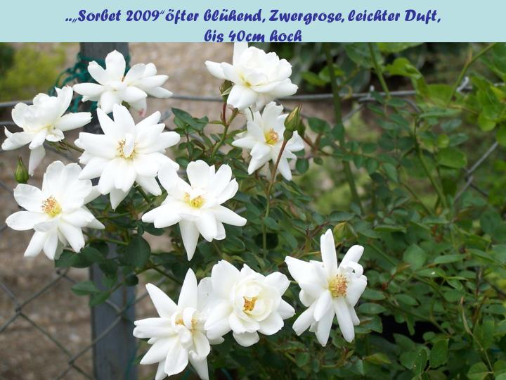 "..""Sorbet 2009""öfter blühend, Zwergrose, leichter Duft,"