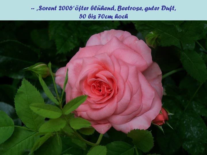 "-- ""Sorent 2006""öfter blühend, Beetrose, guter Duft,"