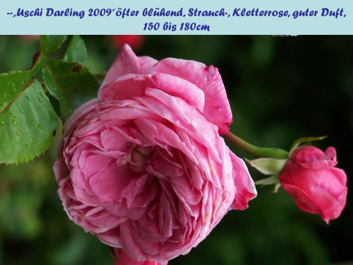 """--""""Uschi Darling 2009""""öfter blühend, Strauch-, Kletterrose, guter Duft,"""