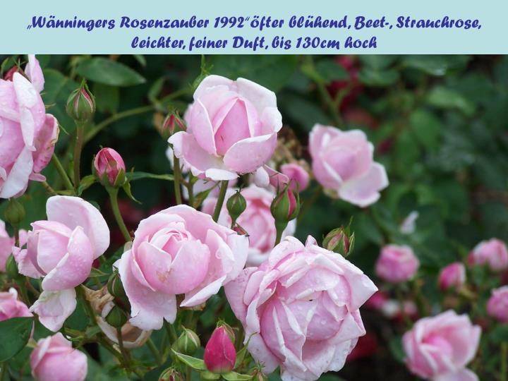 """""""Wänningers Rosenzauber 1992""""öfter blühend, Beet-, Strauchrose,"""