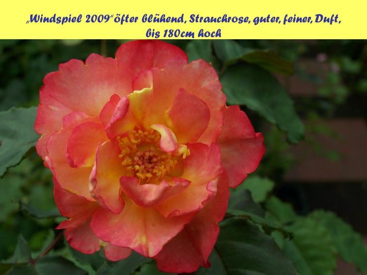 """""""Windspiel 2009""""öfter blühend, Strauchrose, guter, feiner, Duft,"""