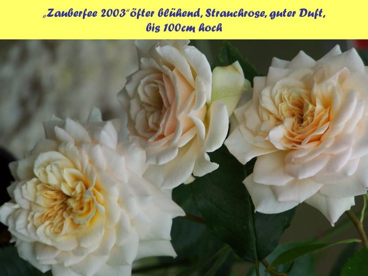 """""""Zauberfee 2003""""öfter blühend, Strauchrose, guter Duft,"""