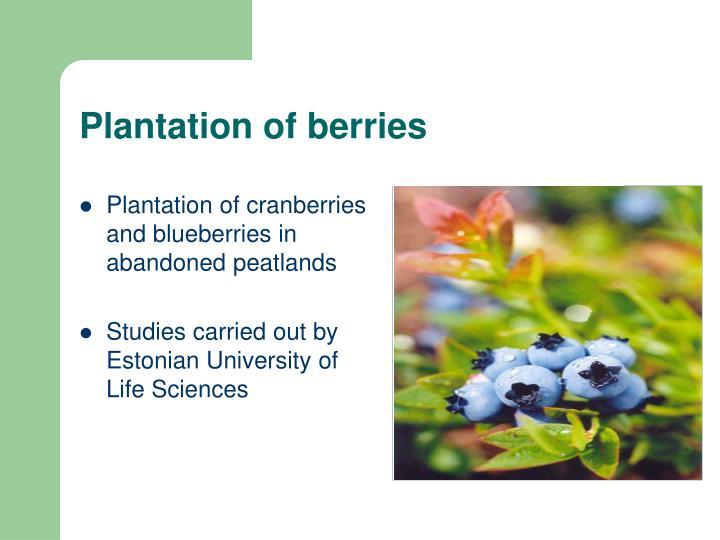 Plantation of berries