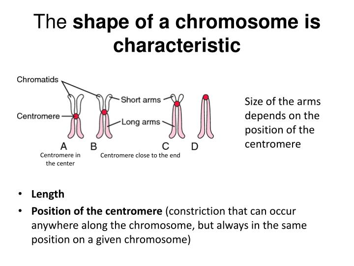 The shape of a chromosome is characteristic