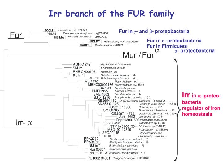 Irr branch of the FUR family