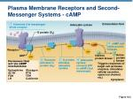 plasma membrane receptors and second messenger systems camp