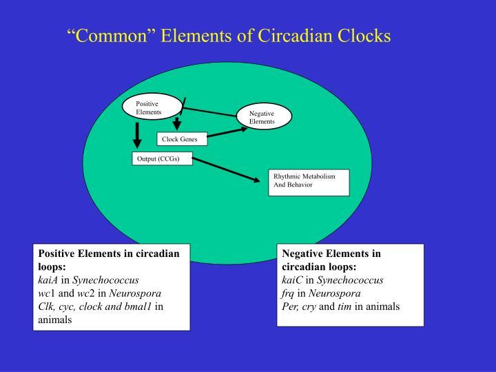 """Common"" Elements of Circadian Clocks"