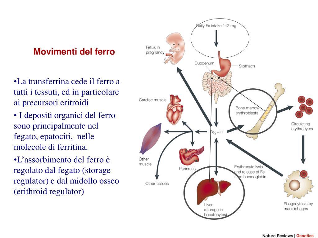 PPT - METABOLISMO DEL FERRO PowerPoint Presentation, free..