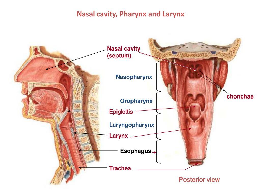 Ppt Nasal Cavity Pharynx And Larynx Powerpoint Presentation Id