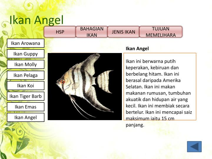 Ikan Angel