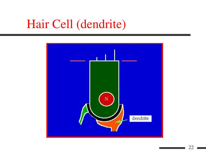 Hair Cell (dendrite)