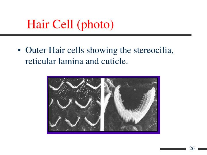 Hair Cell (photo)