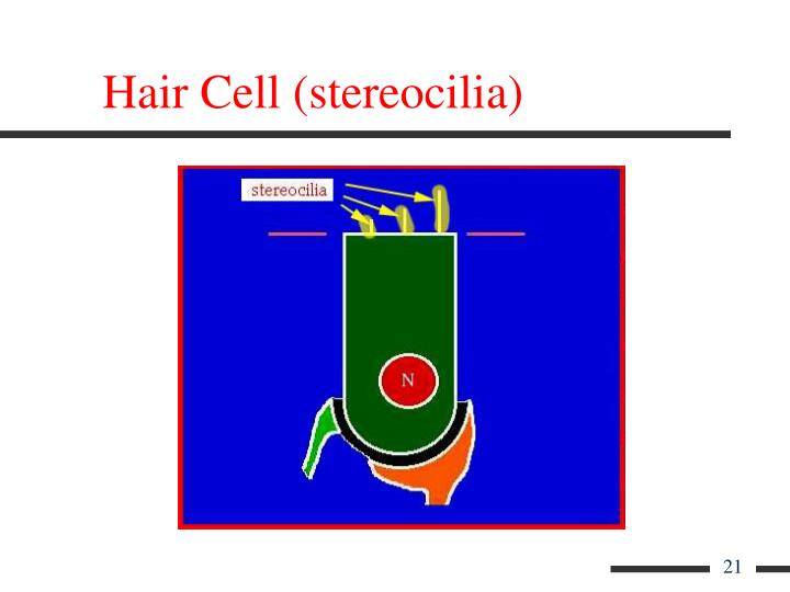 Hair Cell (stereocilia)