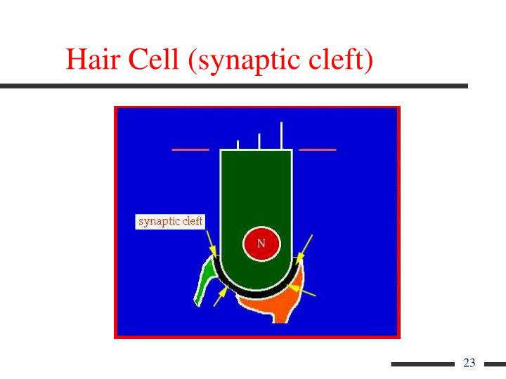 Hair Cell (synaptic cleft)