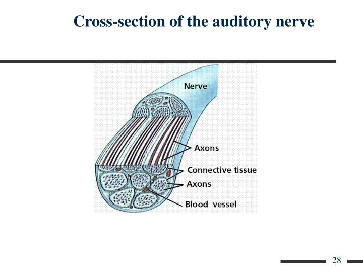 Cross-section of the auditory nerve