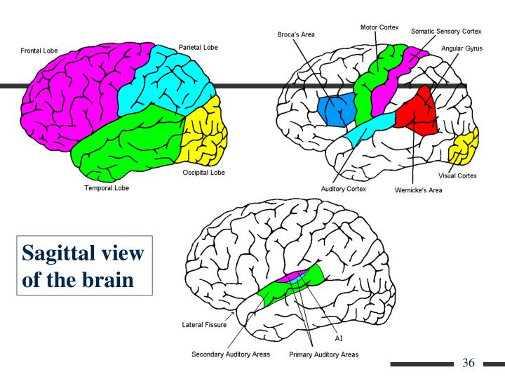 Sagittal view of the brain