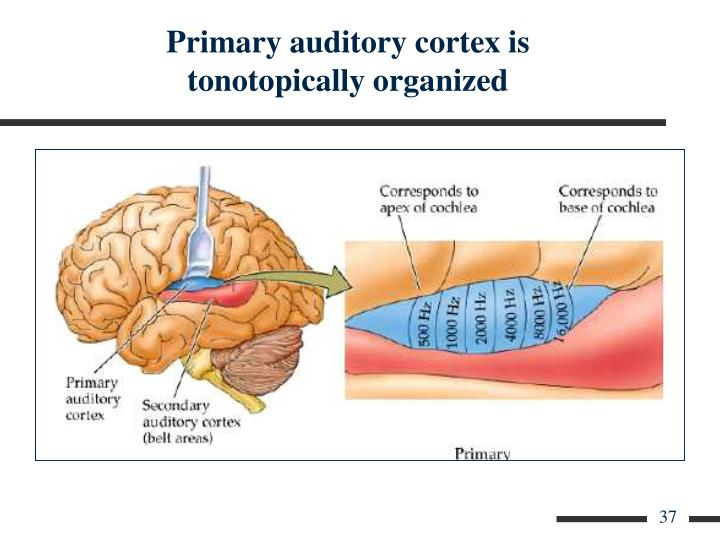 Primary auditory cortex is tonotopically organized