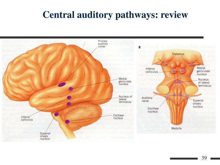 Central auditory pathways: review