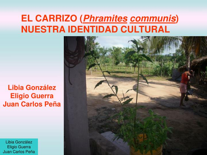 el carrizo phramites communis nuestra identidad cultural n.