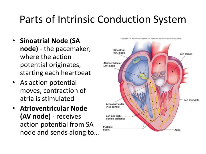 intrinsic conduction system in order
