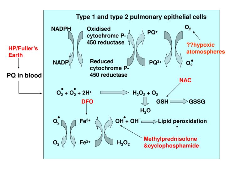 Type 1 and type 2 pulmonary epithelial cells