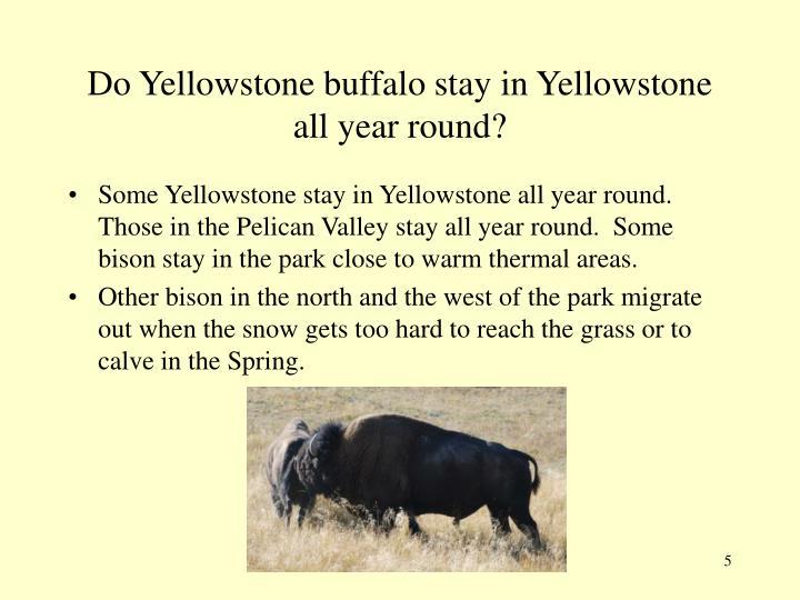 Do Yellowstone buffalo stay in Yellowstone all year round?