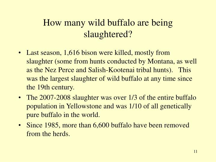 How many wild buffalo are being slaughtered?