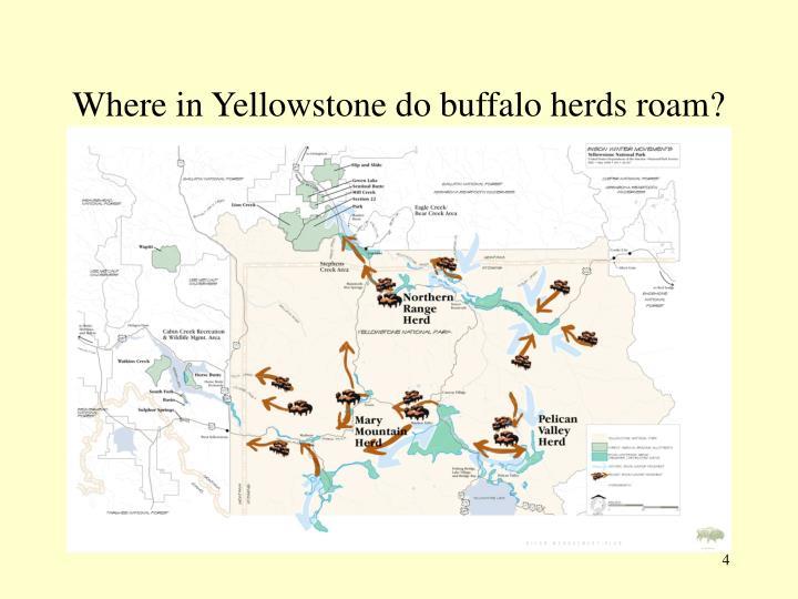 Where in Yellowstone do buffalo herds roam?
