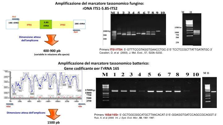 Amplificazione del marcatore tassonomico fungino: