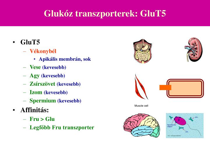 Glukóz transzporterek: GluT5