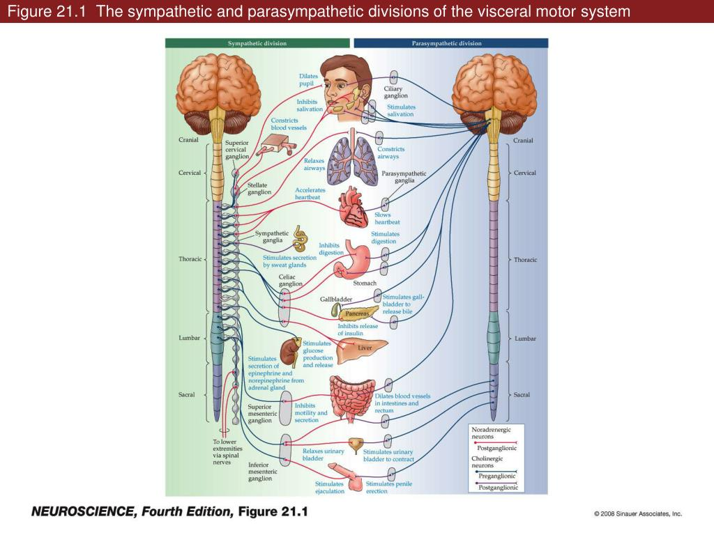 Ppt Figure 211 The Sympathetic And Parasympathetic Divisions Of