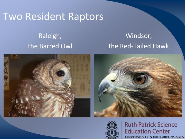 Two Resident Raptors