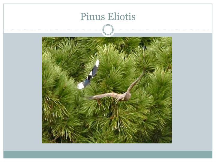 Pinus Eliotis