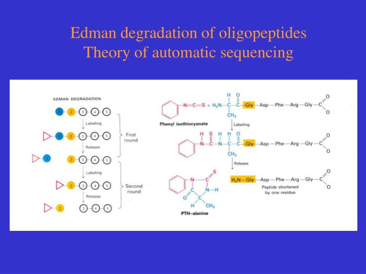 Edman degradation of oligopeptides