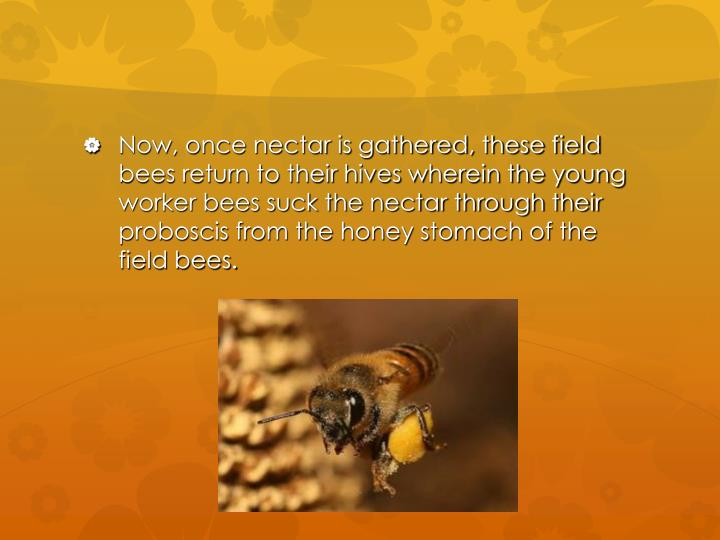 Now, once nectar is gathered, these field bees return to their hives wherein the young worker bees s...