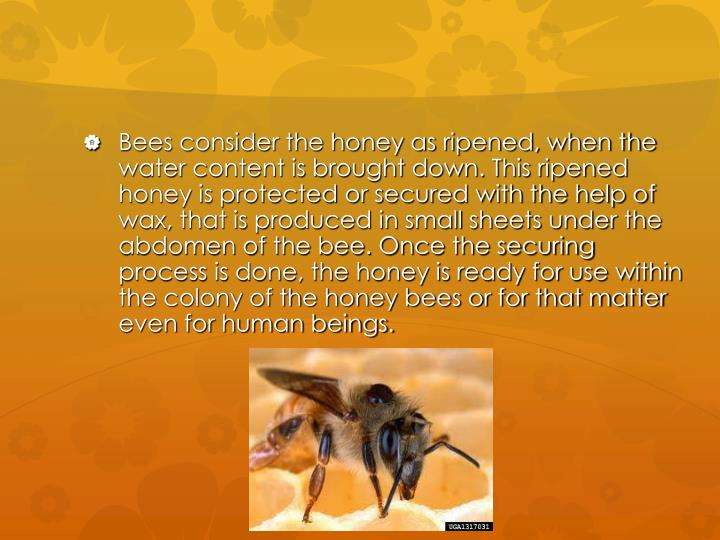Bees consider the honey as ripened, when the water content is brought down. This ripened honey is protected or secured with the help of wax, that is produced in small sheets under the abdomen of the bee. Once the securing process is done, the honey is ready for use within the colony of the honey bees or for that matter even for human beings.