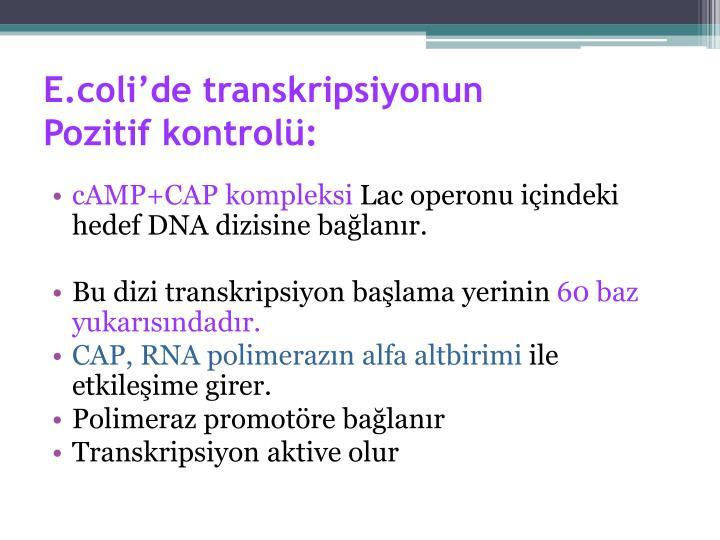E.coli'de transkripsiyonun